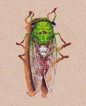 Here Come The Cicadas