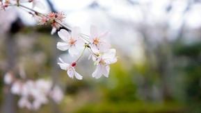 Japanese sakura OHANAMI-お花見-