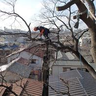 大阪市内エノキ特殊伐採(概算:36万円)