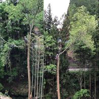 長野県スギノキ特殊伐採(概算:12万円)