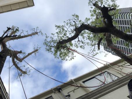 '21.2.22 市街地における大木ロープアクセスメンテナンス