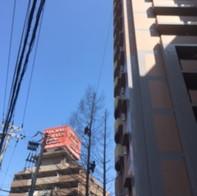 大阪市 メタセコイア特殊剪定(概算:15万円)