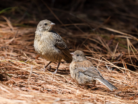 Baby Brown Headed Cowbird
