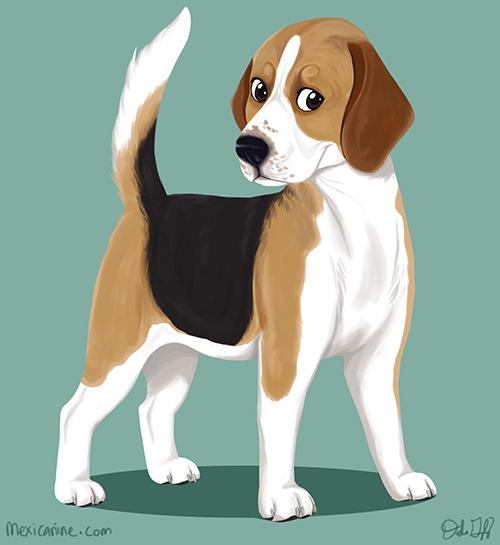 beagle (2)
