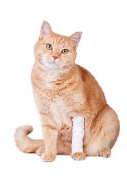 Cute ginger cat with a broken paw. Veter