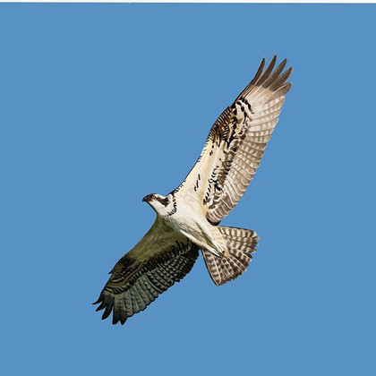 #osprey #oakham #leicestershire #digital