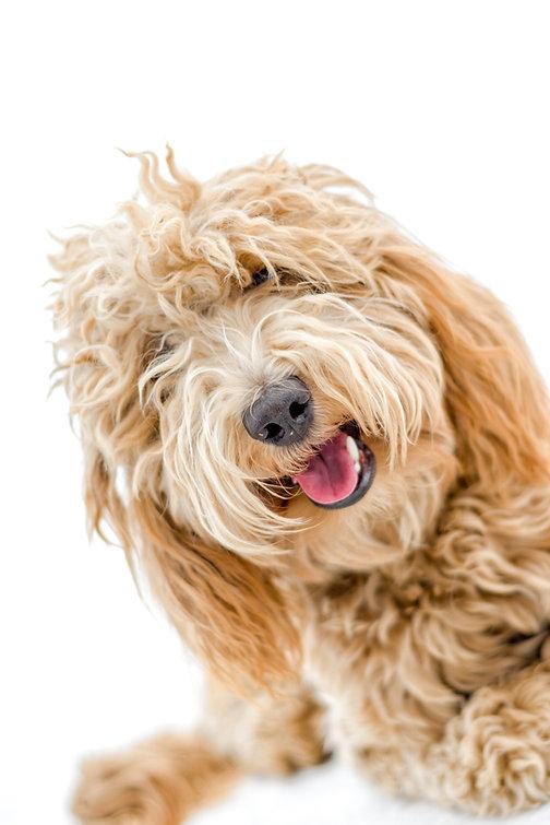 shaggy dog.jpeg