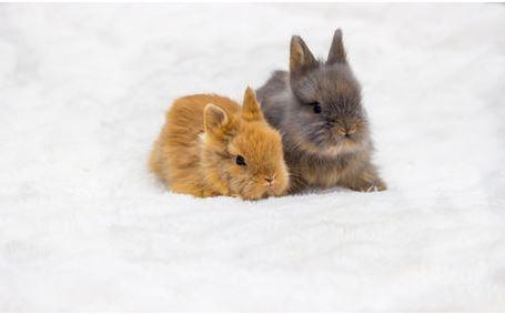 Fellbüschel zwei kleine Hasen Babys