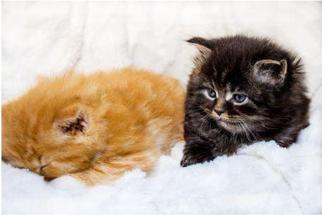 Maine Coon Katzen Babys