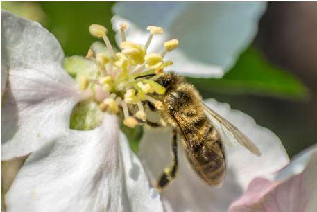 Honig Biene auf der Apfelblüte