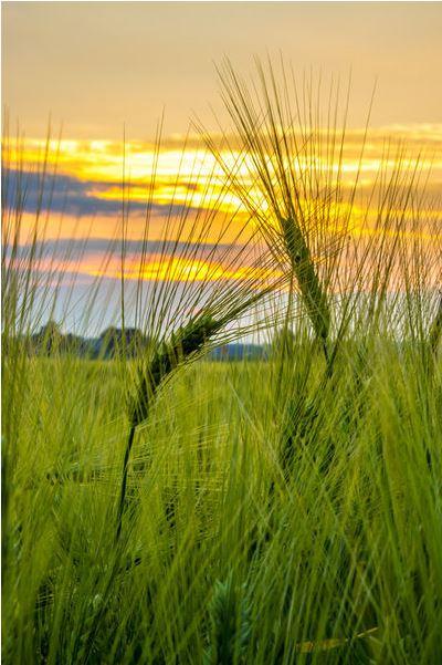 Sonnenaufgang auf dem Kornfeld