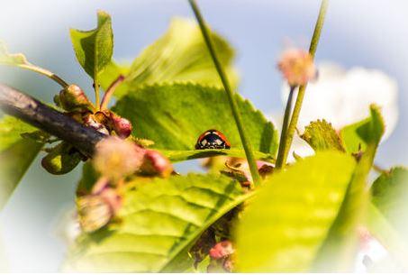 Kleiner Marienkäfer auf einem Apfelb