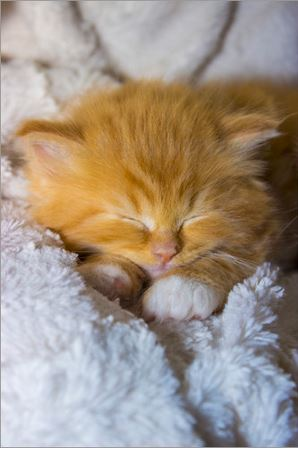 Maine Coon Baby Katze