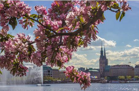 Kirschblüten an der Alster
