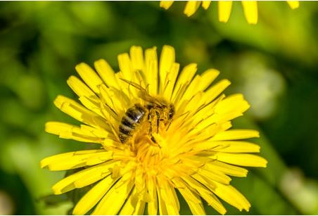 Fleissiges Bienchen auf dem Löwenzah