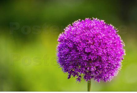 Zierlauch (Alium) in voller Blüte