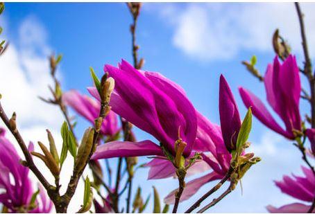 Magnolia liliiflora, Lilienblütige