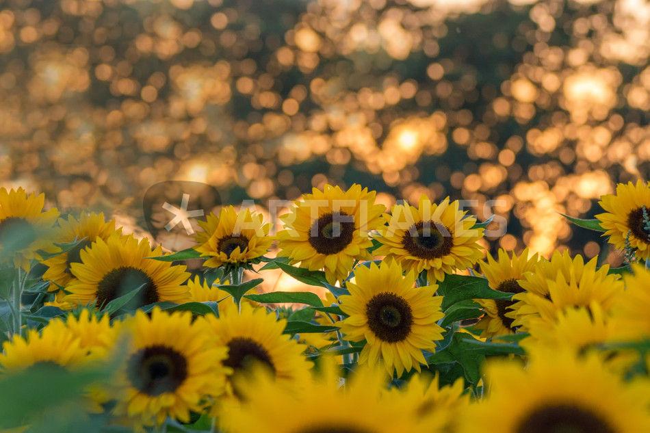 Sonnenblumen Feld