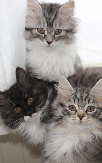 siberian cats and kittens for sale anya siberians