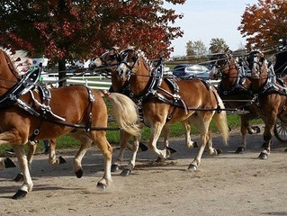 NODPA Draft Pony/Haflinger Show
