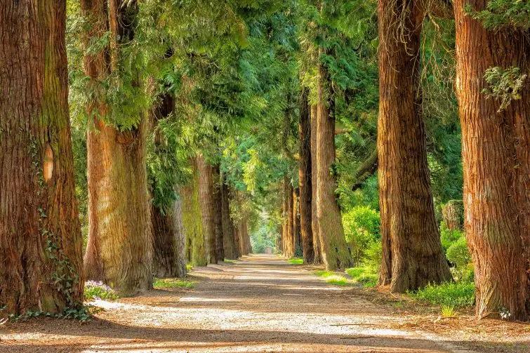 Tree-Packs-Avenue-of-Trees-20-Trees.jpg.