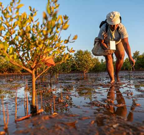 Our mangroves being planted by an employee of Eden Projects