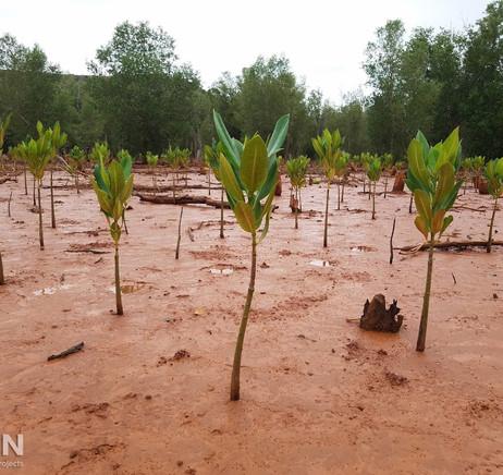 Mangrove saplings