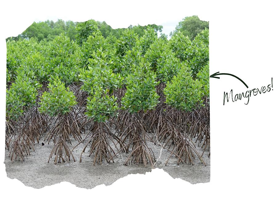 Mangroves.png