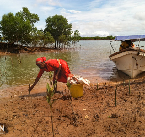 More mangroves being planted