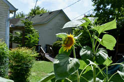 Sunflower, small