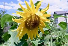 Sunflower, large