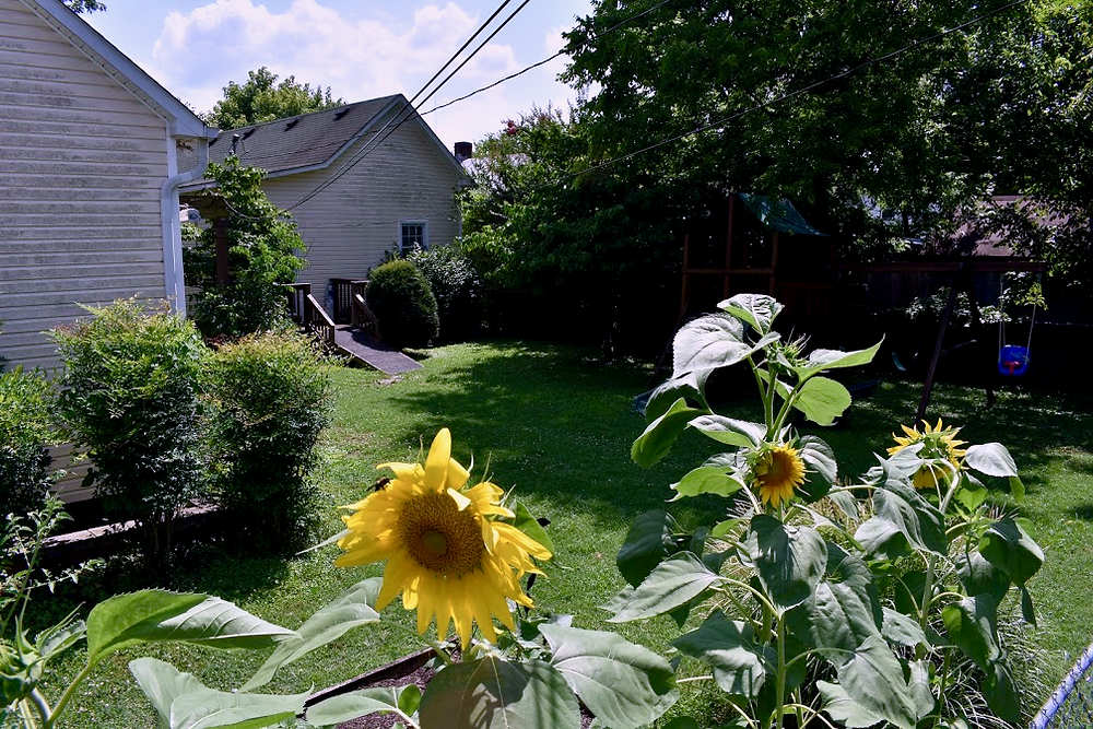 Row of sunflowers with a house in the background