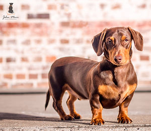 John Muir Photography | itsgeorgeous - Dachshund  | Brisbane Pet Photography | Brisbane Powerhouse