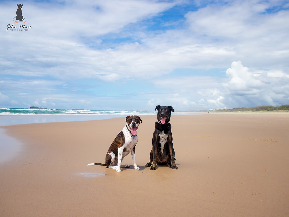 @twocheekymutts - Logan (GSD Cross) and Leroy (Boxer Cross)