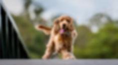 John Muir Photography | Bart - Poodle| Brisbane Pet Photography | 7th Brigade Park