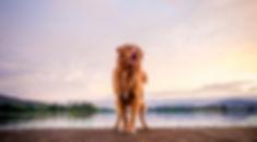 John Muir Photography | Tango - Novascotia Ducktolling Retriever | Canberra Pet Photography | Weston Park