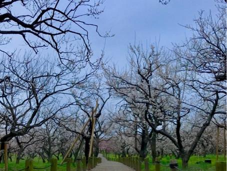 水戸市偕楽園では梅まつりが開催中!