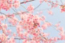 cherry-tree-1225186_640.jpg