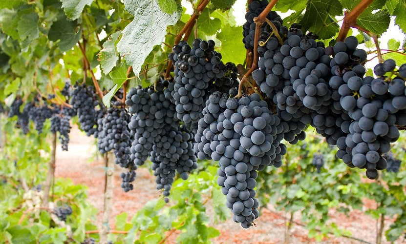 Cavernet-Sauvignon-Grapes-on-the-vine.jp