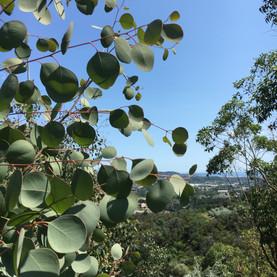 Populus feuilles