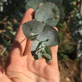 Baby leaves of Cinerea