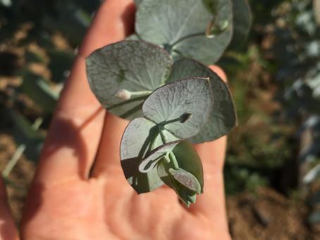 Producteurs d'eucalyptus éco-responsable