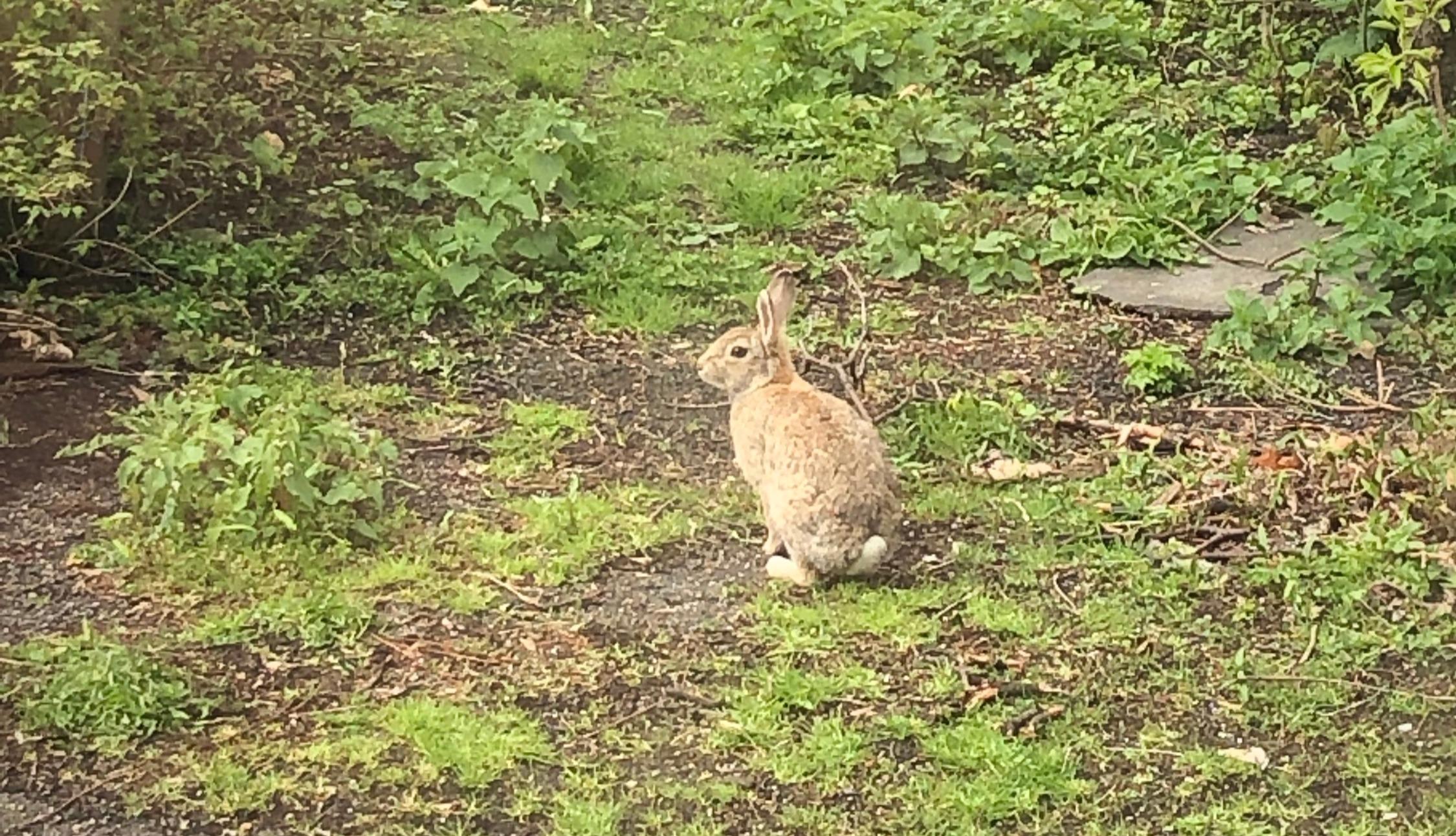 konijn in het wild