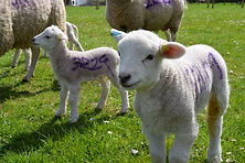 healthy lambs, from good biosecurity preventing zoonosis