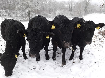a herd of aberdeen angus cattle in the snow