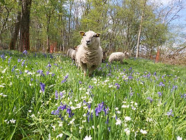 sheep in a flower meadow