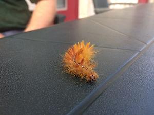 a strange orange catarpillar