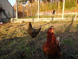 outdoor chickens