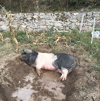 a saddleback pig playing in the mud