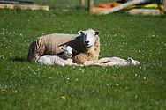 healthy ewe with lambs